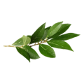 cropped-115a9e94d0bad1ef8247508c51609af5-bay-leaf-herb-illustration.png
